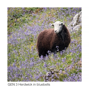 Gen 3 Herdwick in bluebells web 1056