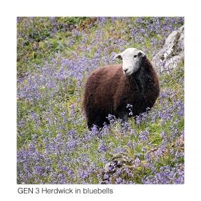 Gen 3 Herdwick in bluebells web 1056