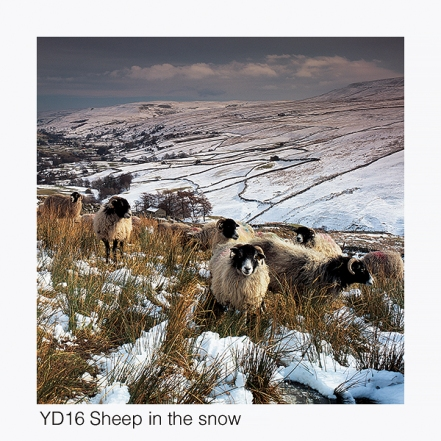 YD16 Sheep in snow, Swaledale GCs web