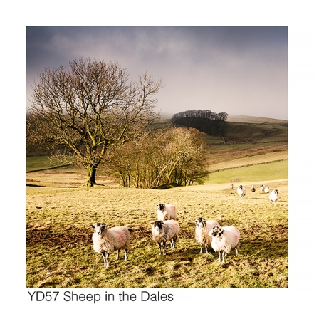 YD57 Sheep in the Dales GCs web
